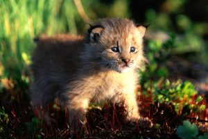 bobcat baby cub
