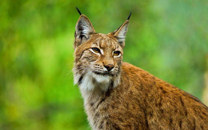 bobcat background