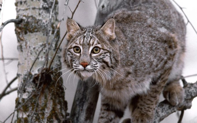 bobcat hd wallpapers