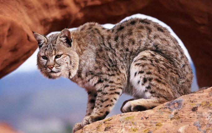 bobcat wild