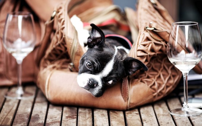boston terrier backgrounds