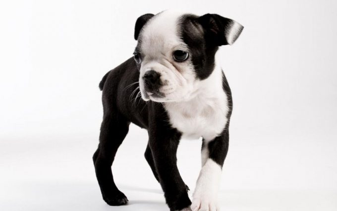 boston terrier images free