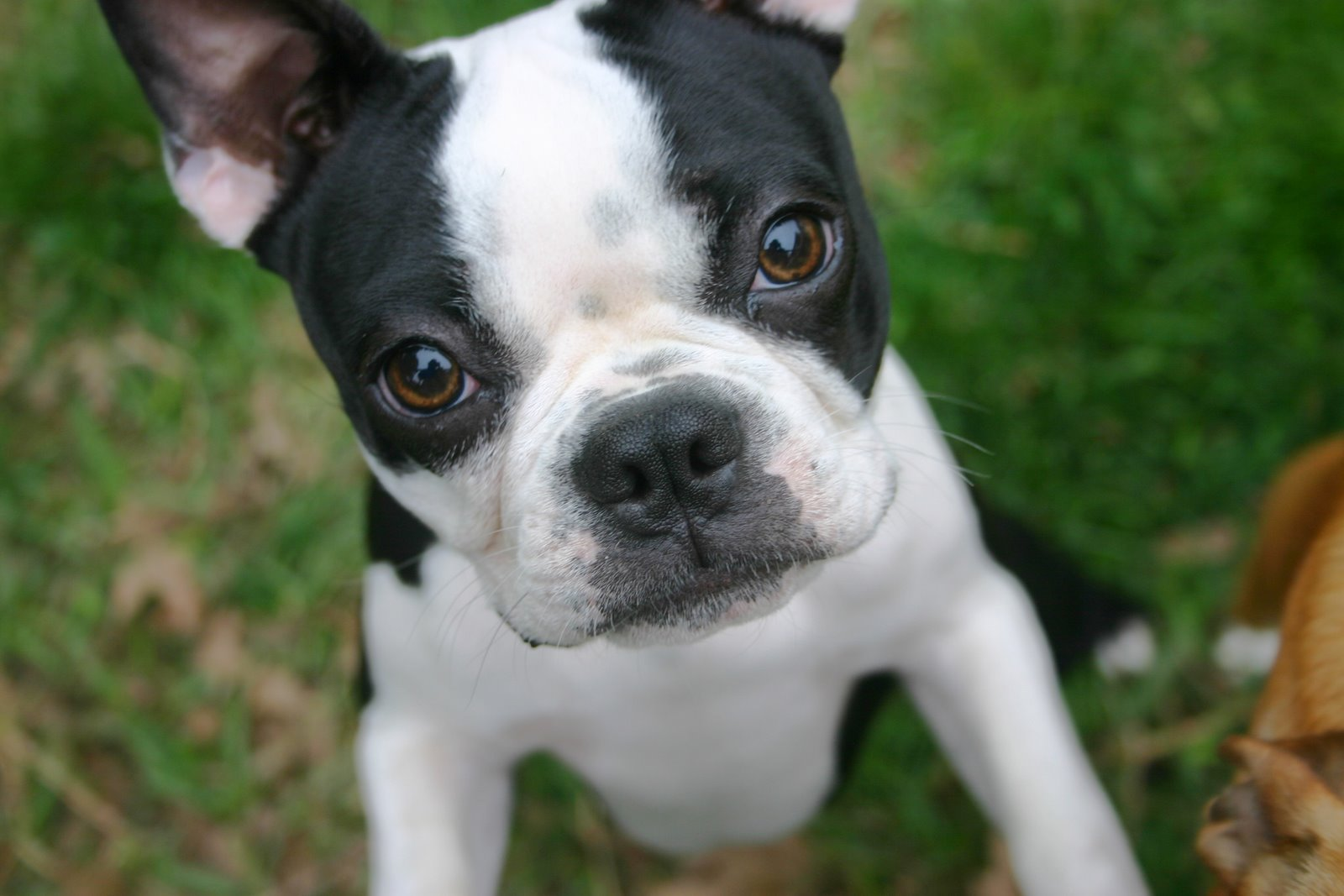 Must Love Dogs Wallpaper : boston terrier puppies - HD Desktop Wallpapers 4k HD
