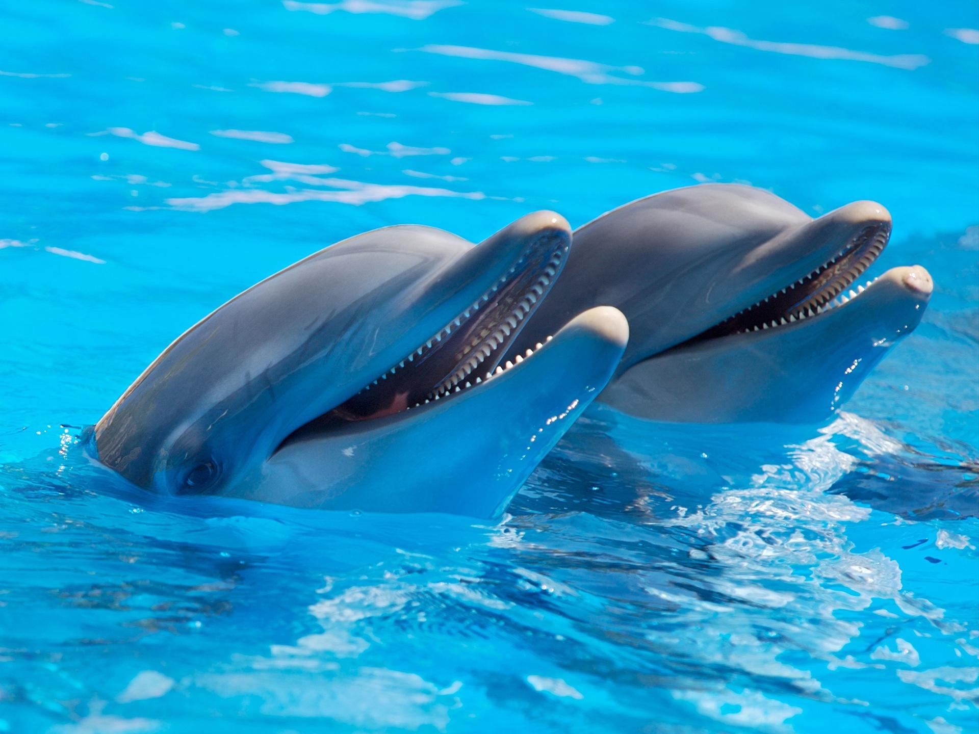 bottlenose dolphin wallpaper