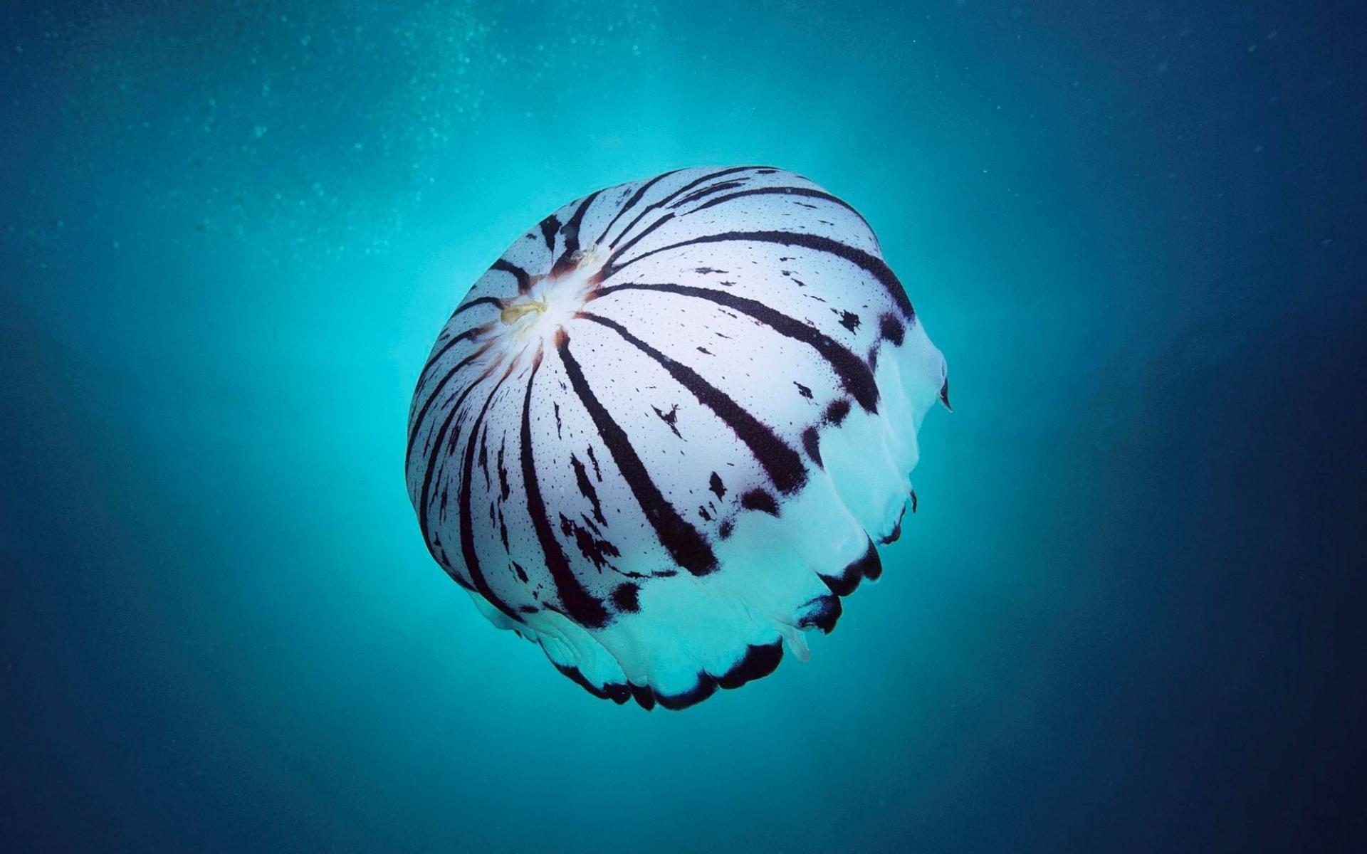box jellyfish wallpaper