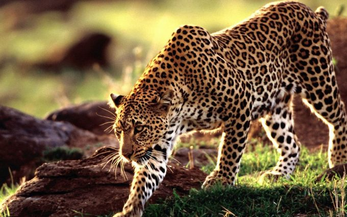 brown leopard print wallpaper