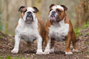 bulldog images