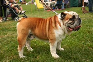 bulldog images A1
