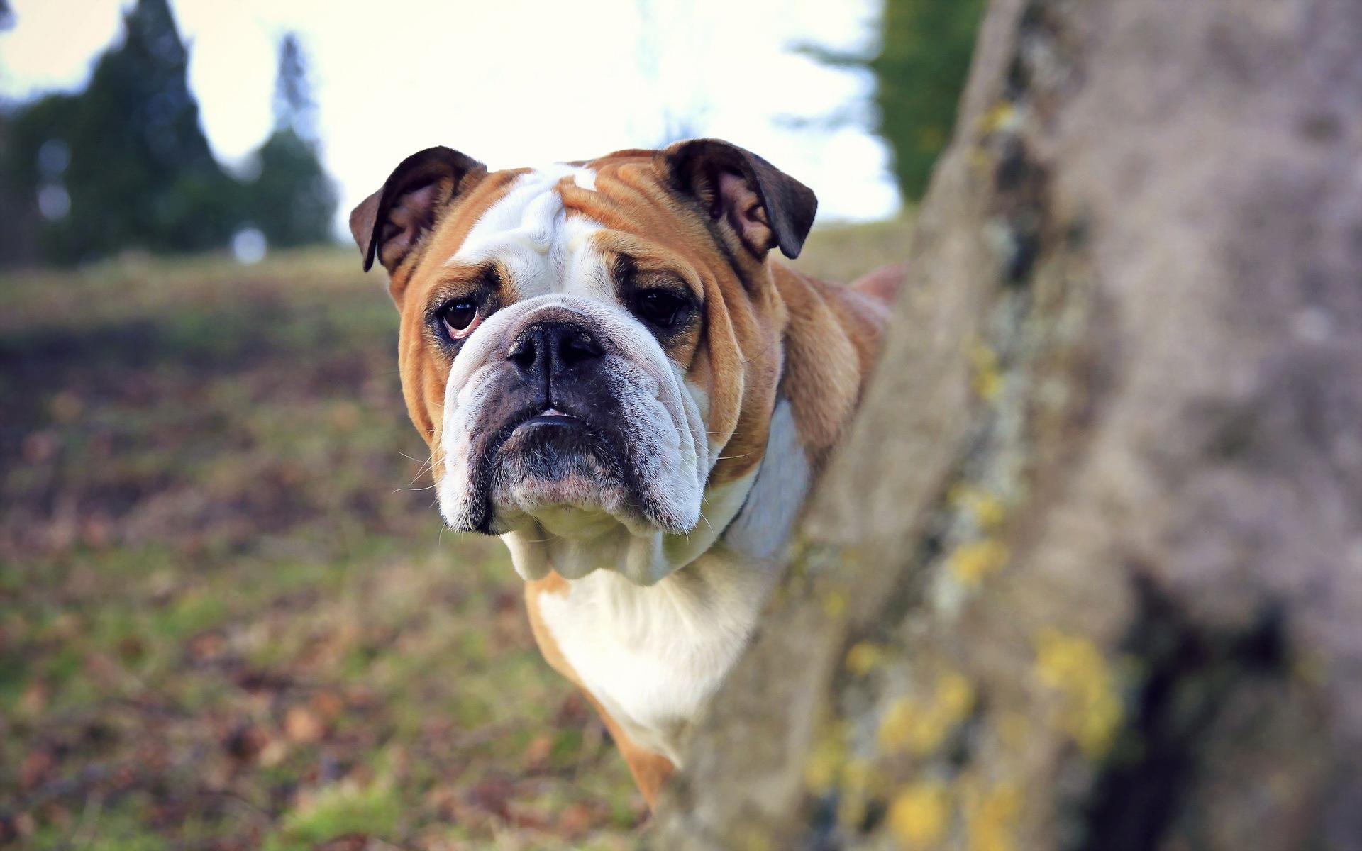 bulldog photos