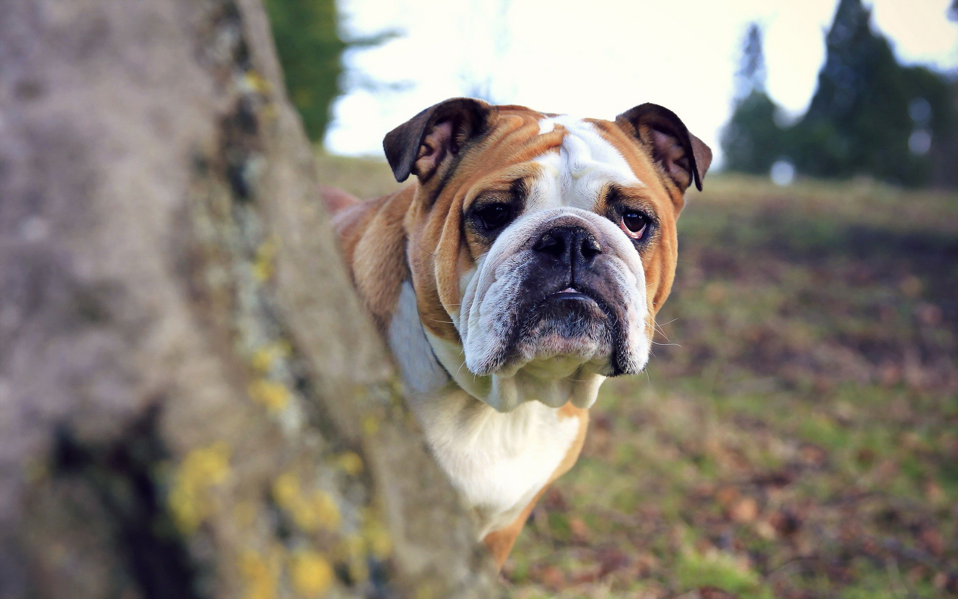 bulldog pictures A1