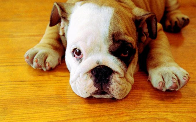 bulldog pictures A5