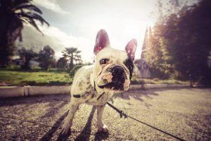 Bulldog Wide Desktop Background