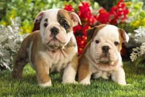 bulldog wallpaper pup