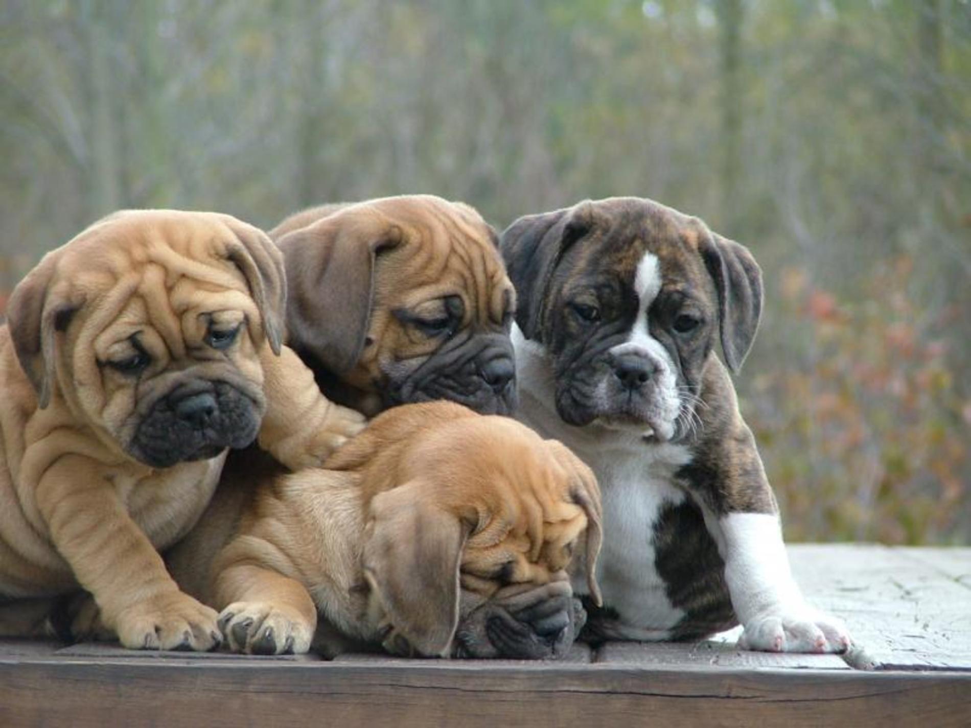 bulldog wallpaper puppy