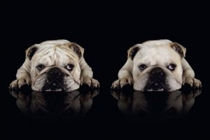 bulldog wallpapers A1