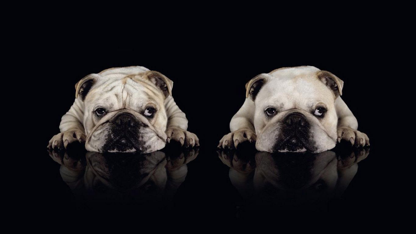 bulldog wallpapers A1