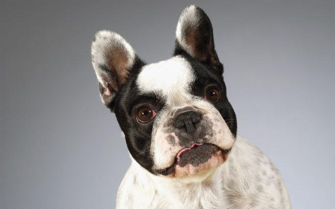 bulldog wallpapers A10