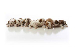 bulldog wallpapers A2