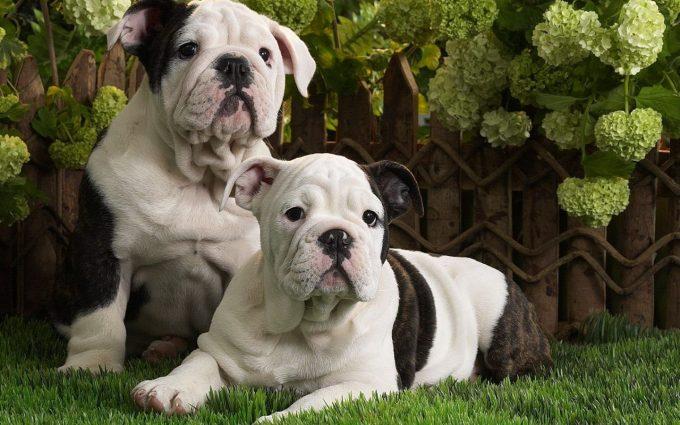 bulldog wallpapers A5