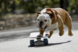 bulldog wallpapers dog breed