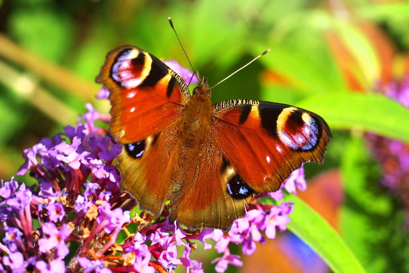 butterfly desktop wallpaper