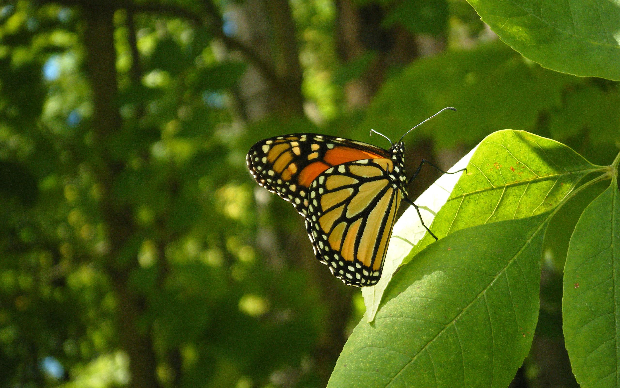 butterfly desktop