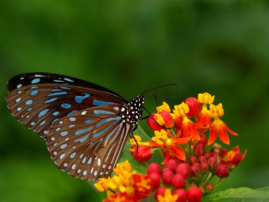 butterfly hd wallaper download