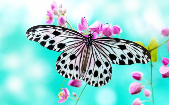 butterfly hd wallpapers download