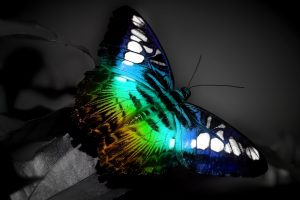 butterfly images download free