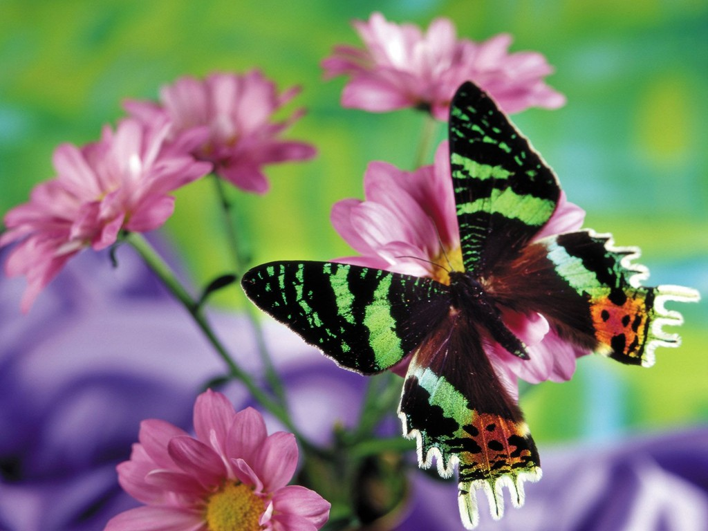 butterfly pictures free