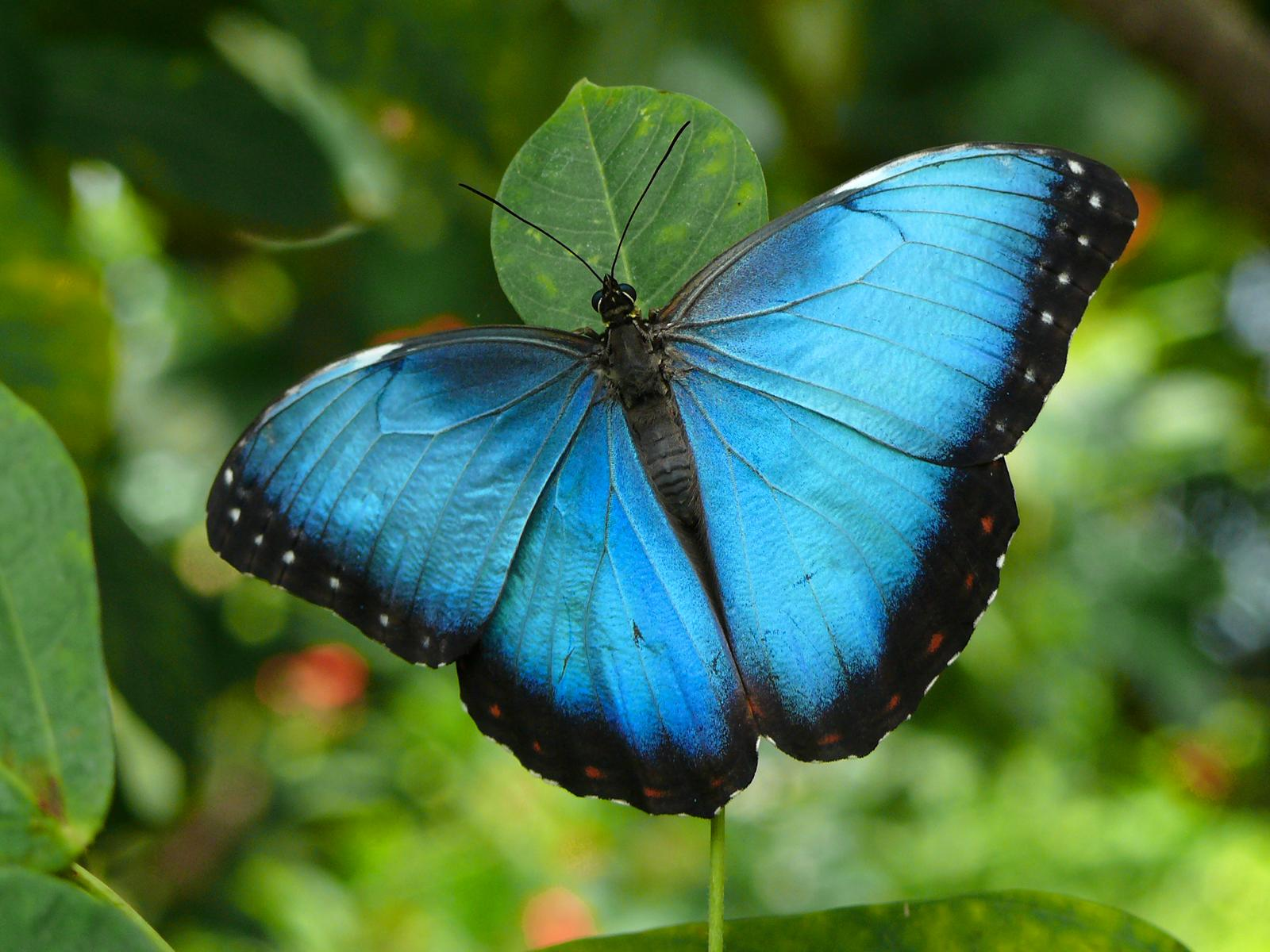 butterfly wallpaper download free