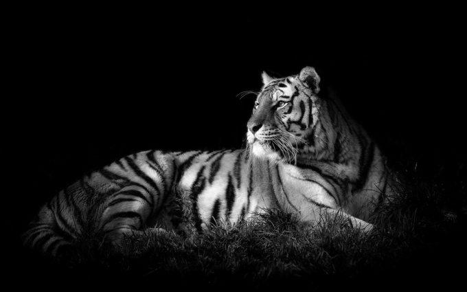 bw wallpaper tiger