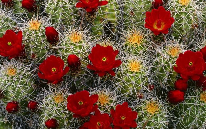 cactus wallpaper 1080p