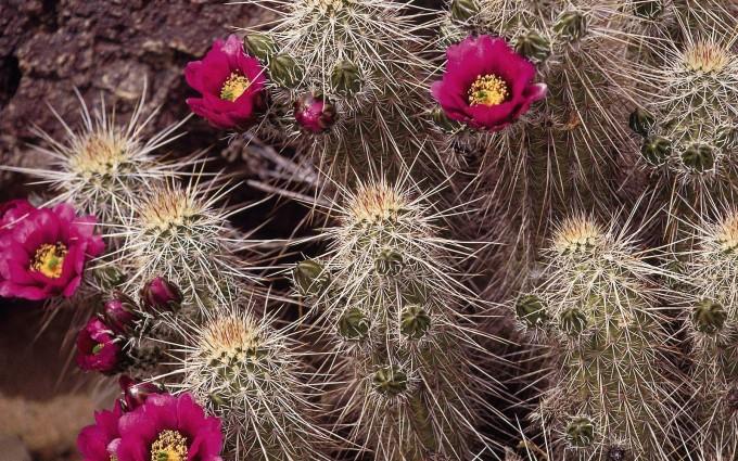 cactus wallpaper free