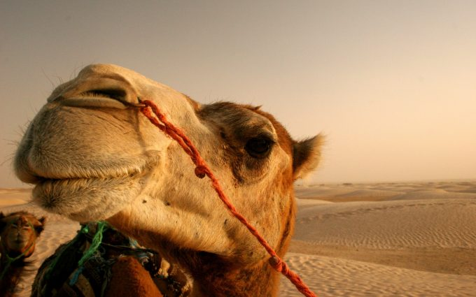 camel wallpaper hd