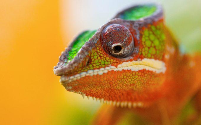 cameleon closeup