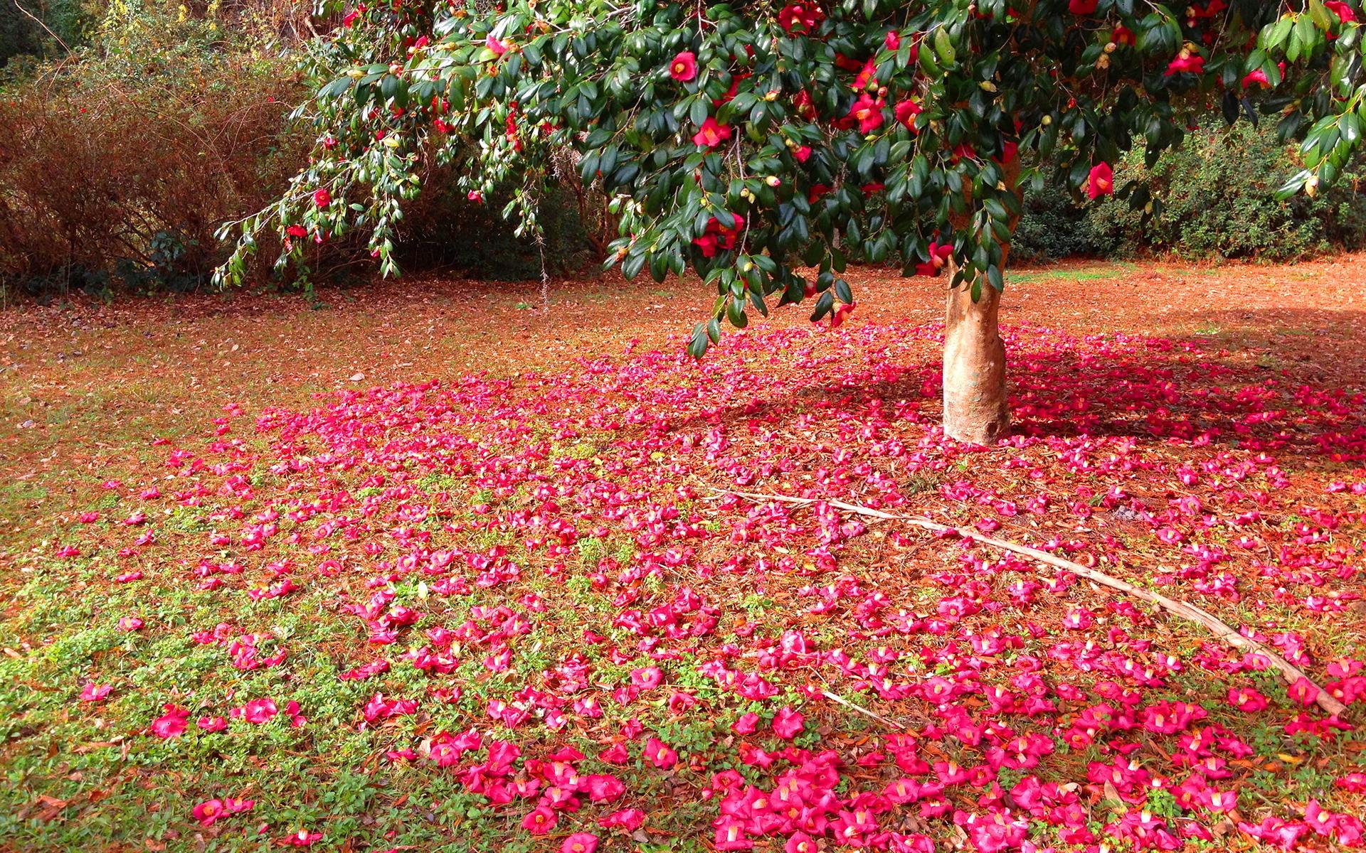 camellia flower bloom