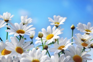 camomile pictures