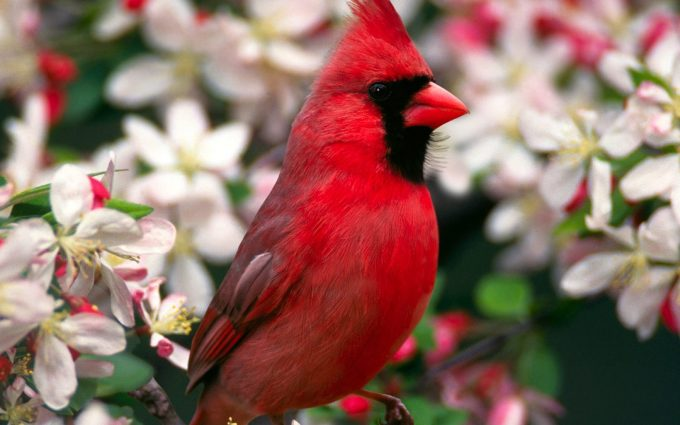 cardinal beautiful wallpaper