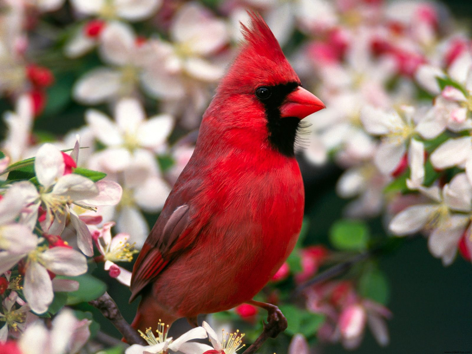 cardinal beautiful wallpaper