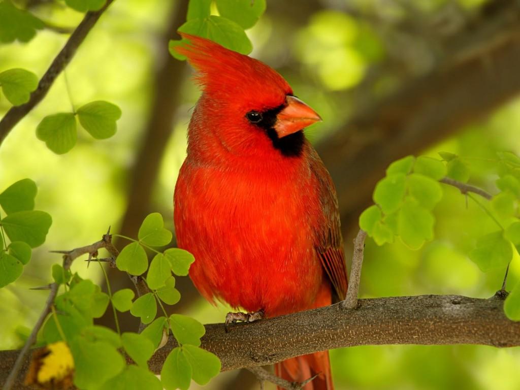cardinal bird wallpaper