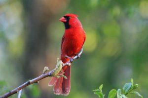 cardinal hd