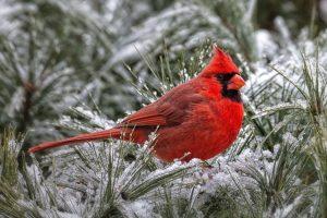 cardinal images hd