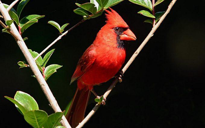 cardinal wallpaper