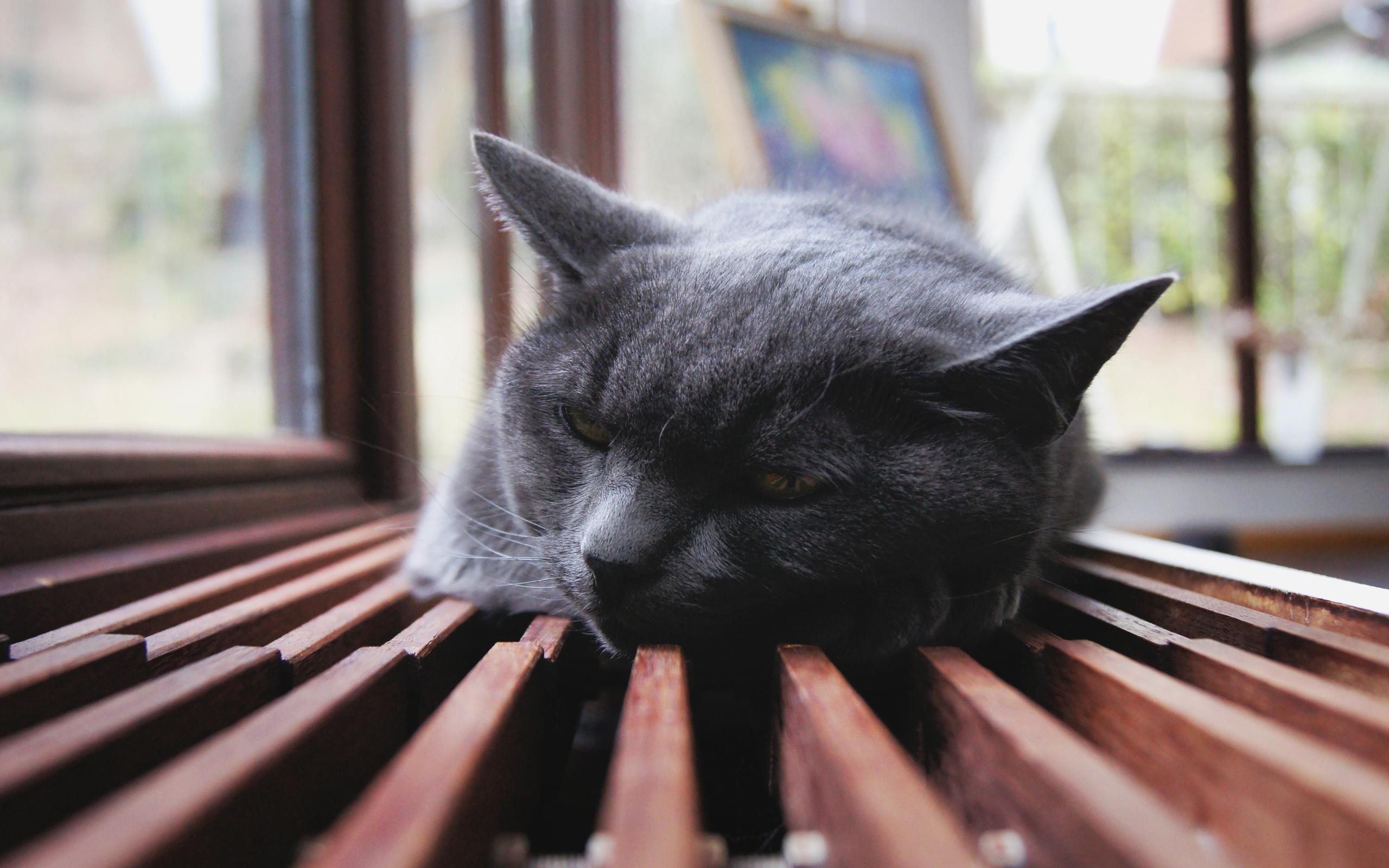 cat black hd