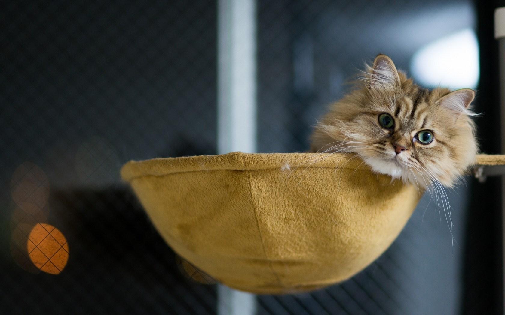 cat face cute hd
