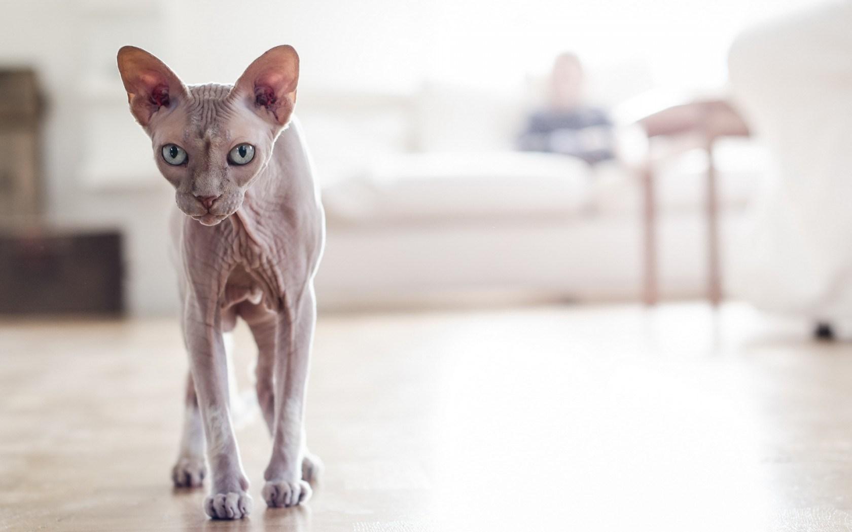 cat sphynx