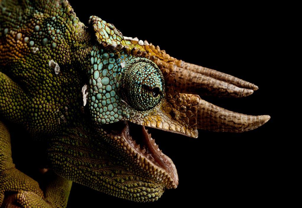 chameleon image hd