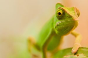 chameleon photo hd
