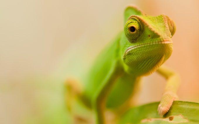 chameleon photo hd